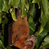 Uknown Fruitbat species