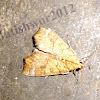 Yellow Scallop Moth