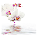 Orchids In Water VIII icon