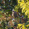 Speckled Mousebird