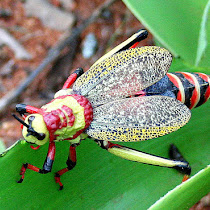 Orthoptera in southern Africa
