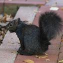 Eastern gray squirrel (melanistic form)