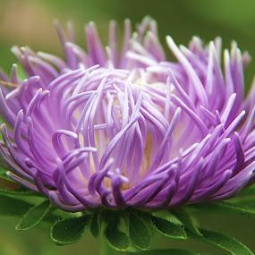 by Chrysta Rae - Flowers Single Flower ( purple, flowers, garden, flower, purple flower )
