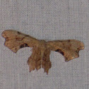 Brown Scoopwing Moth