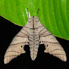 Hawk Moth (No Common Name)