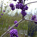 Bodinier's beautyberry
