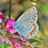 Idas Blue/Moyen argus