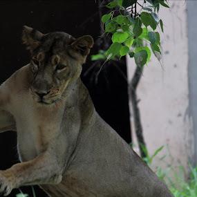 Lioness by Ashwini Dey - Animals Lions, Tigers & Big Cats ( canon, lioness, ashwini dey, photography, animal )