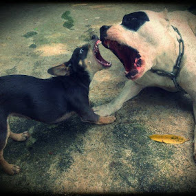 Sophia & Pirate  by Sérgio Delgado - Animals - Dogs Playing