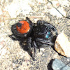 Redback Jumping Spider