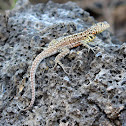Santa Cruz Lava Lizard (male)