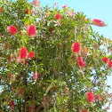Callistemon citrinus. Plumerillo