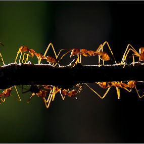 A Busy Evening.. by Suhaas Premkumar - Animals Insects & Spiders ( backlit, red, set, back, ants, ant, insect, light, sun )