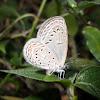 Tiny Grass Blue (female)