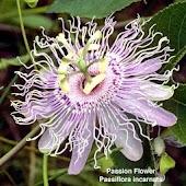 Wildflowers of East Texas