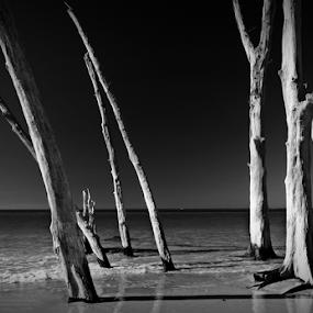 Deadwood by Jeremy Barton - Landscapes Beaches ( sand, florida, trees, sea, bradenton, beach, usa )