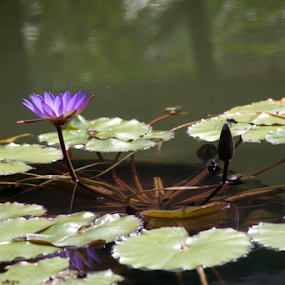 Purple Water Lily by Beng Lim - Flowers Flower Gardens