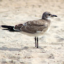 Laughing Gull (Juvenile)