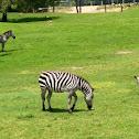 Grant 's Zebra