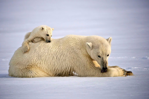 Svalbard-polar-bears-lying-down - A mother polar bear grooms herself while her cub hangs on. On many Hurtigruten Fram cruises to Svalbard, guests have enjoyed watching polar bears rest on the Arctic ice.