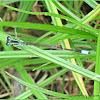 Common Bluetail (Male)