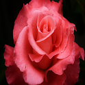 Red Rose LWP (shake) icon