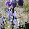 Lupins ( lupines )