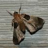 Dimorphic Tosale Moth
