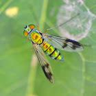 Long legged fly