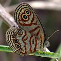 Zulu shadefly