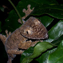 Leaftail Gecko