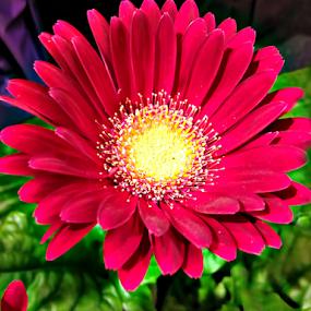 Red Wildflower by Lawrence Ferreira - Flowers Single Flower ( wild, gift, peaceful, red flower, colorful, beautiful, beauty, pretty, garden flower, love, red, joyous, single flower, lovely, mums, flower,  )