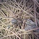 Araña doméstica /  House spider