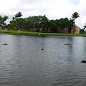 domestic mallard ducks