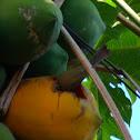 Sanhaço do coqueiro