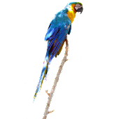 Parrot Blue Sticker