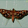 Sampaguita Webworm Moth