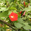 Small Red Morning Glory / Redstar / Starflower / Scarlet Morningglory Ipomoea coccinea