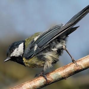 D:\01 GALERIJA FOTO\01 ptice\Velika sinica    Parus major\pixoto\v-sinica-656.pg.jpg