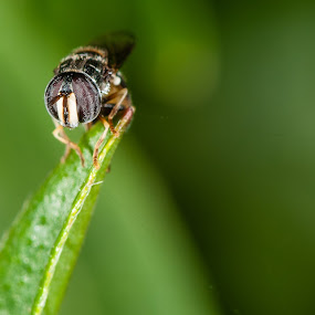 Bees by Jimmy Fang - Animals Insects & Spiders ( animals, bees, nature, bugs, insects,  )