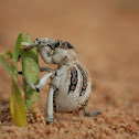 Lily weevil