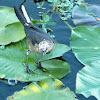 Boat-tailed grackle female (leucistic)