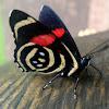 Mariposa,  Little Callicore butterfly, borboleta
