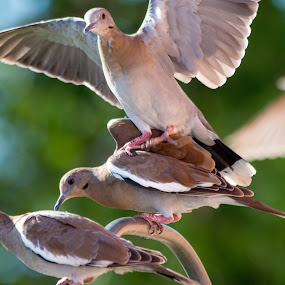 Crowded Airport by Robert Marquis - Animals Birds ( landing, aiorport, birds, dove, crowded,  )