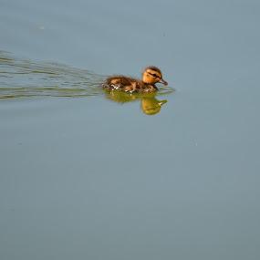 Such A Cutie by Ed Hanson - Animals Birds ( water, duck, baby )