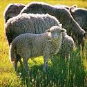 romantic sheep