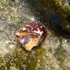 Caracola, caracol de mar