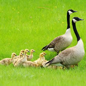 Two Adult Canada Geese With a Gaggle of Goslings by Robert Hamm - Animals Birds ( gosling, canada, grass, winnipeg, gaggle, aquatic bird, spring, migratory bird, flock, manitoba, field, pasture, chick, waterfowl, nature, canada goose, outdoor, duck, meadow, goose,  )