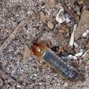 scarab beetle larva