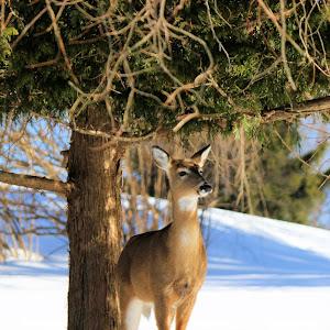 Deer Smiling.jpg